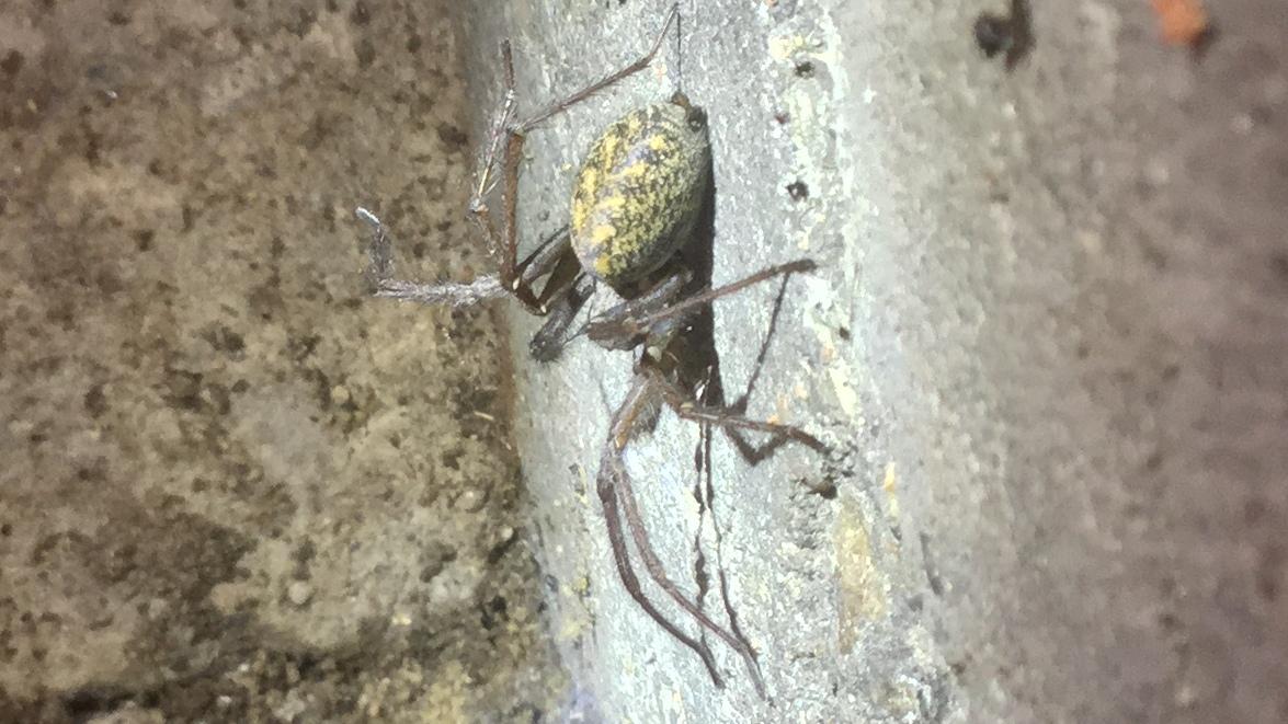 kæmpe store edderkopper